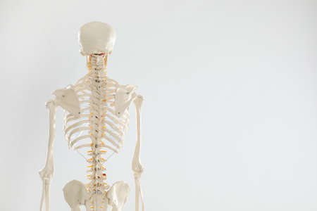 Artificial human skeleton model on white background, back view. Space for text