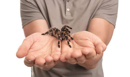 Man holding striped knee tarantula on white background, closeup Banque d'images