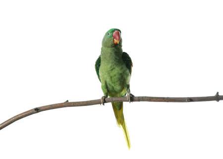 Piękna aleksandryjska papuga na gałęzi drzewa na białym tle