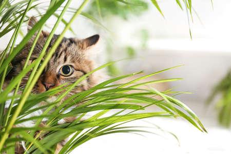 Adorable gato cerca de planta de interior en piso en casa Foto de archivo