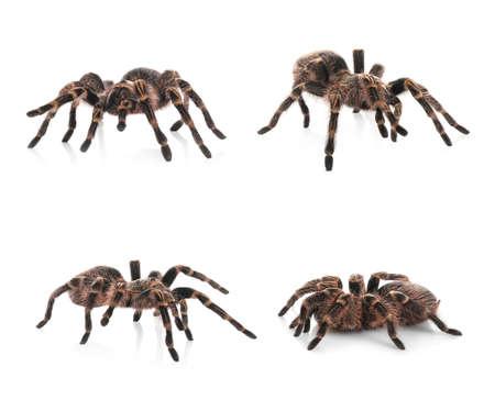 Collage of striped knee tarantula (Aphonopelma seemanni) on white background