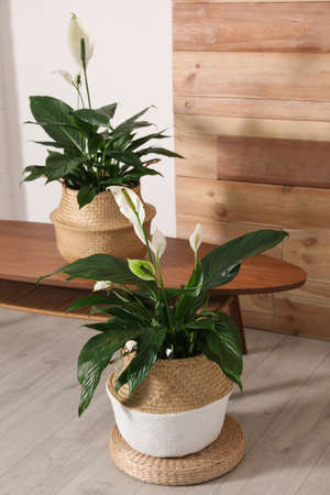 Stylish interior design with beautiful plants in pots