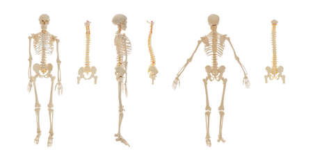 Collage of artificial human skeleton and spine models on white background