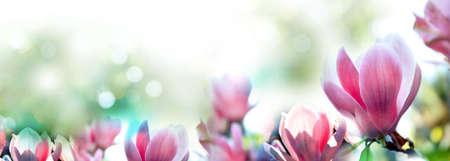 Beautiful magnolia flowers, closeup. Amazing spring blossom