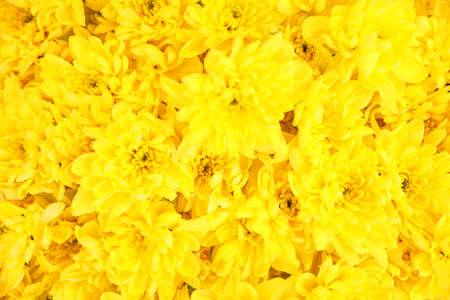 Schöne frische Chrysanthemenblumen als Hintergrund, Nahaufnahme. Blumendekor