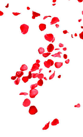 Flying fresh red rose petals on white background