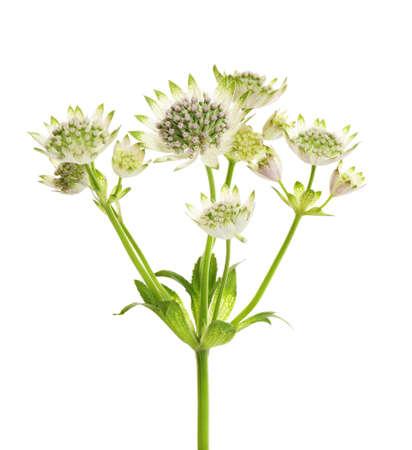 Belles fleurs fraîches d'astrantia isolées sur blanc