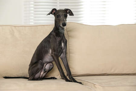 Italian Greyhound dog on sofa at home