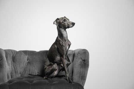 Italian Greyhound dog on armchair against light background Archivio Fotografico