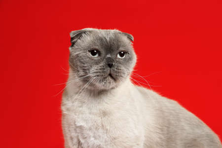 Cute Scottish fold cat on red background. Fluffy pet
