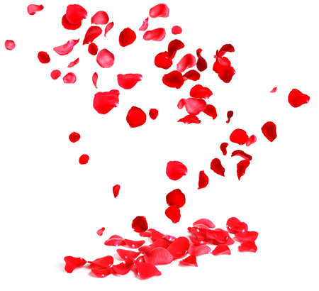 Falling fresh red rose petals on white background