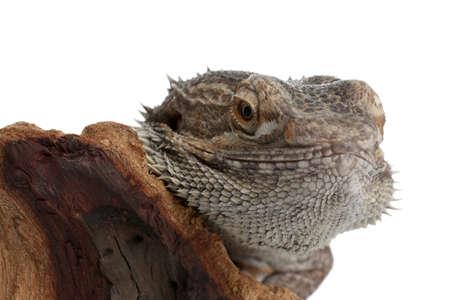 Bearded lizard (Pogona barbata) and tree branch isolated on white, closeup. Exotic pet Reklamní fotografie