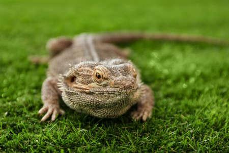 Bearded lizard (Pogona barbata) on green grass, closeup. Exotic pet Stok Fotoğraf