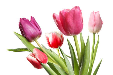 Beautiful tulips on white background. Spring flowers