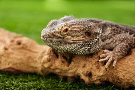 Bearded lizard (Pogona barbata) and tree branch on green grass, closeup. Exotic pet Stok Fotoğraf