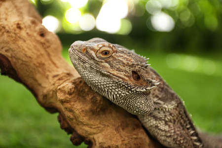 Bearded lizard (Pogona barbata) on tree branch, closeup. Exotic pet