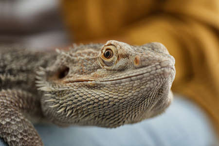 Young woman with bearded lizard at home, closeup. Exotic pet