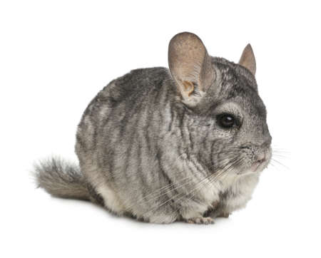 Cute funny grey chinchilla isolated on white