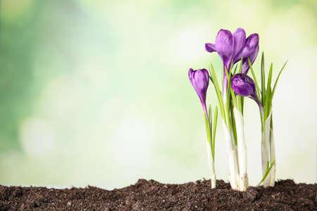 Beautiful blooming crocus flowers in ground. Springtime