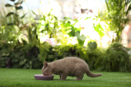 Scottish straight baby cat eating from bowl on green grass