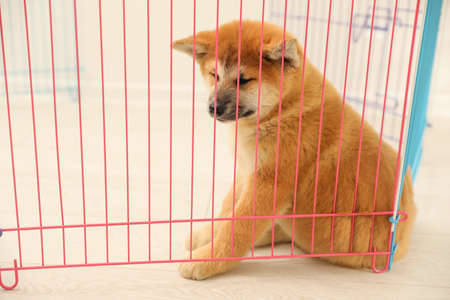 Cute Akita Inu puppy in playpen indoors. Baby animal