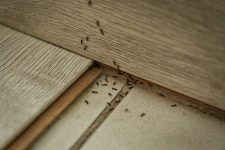 Many black ants on floor at home. Pest control 写真素材