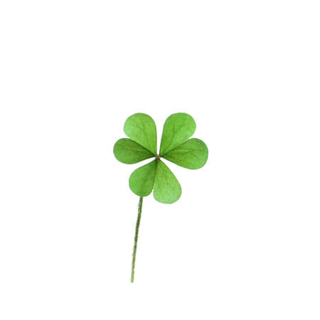 Fresh clover leaf isolated on white. St. Patrick's Day celebration