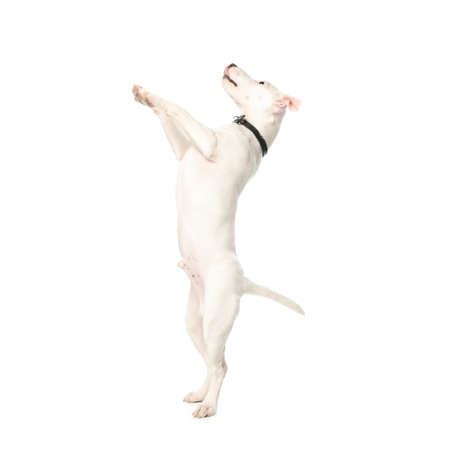 Cute Jack Russel Terrier on white background. Lovely dog Archivio Fotografico