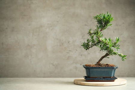 Japanese bonsai plant on light table, space for text. Creating zen atmosphere at home