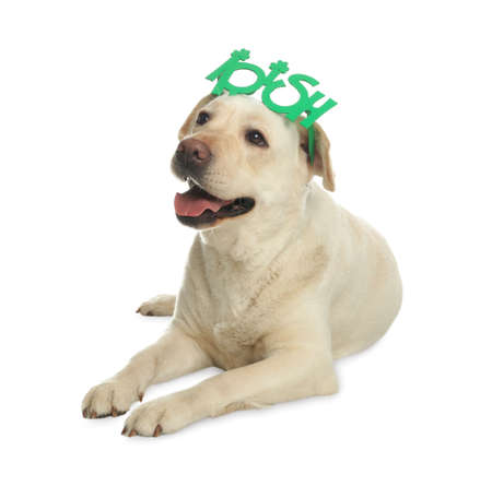 Labrador retriever with Irish party glasses on white background. St. Patrick's day