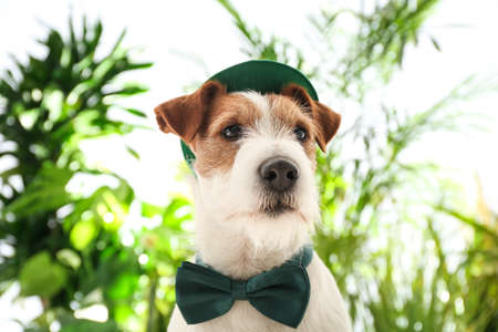 Jack Russell terrier with leprechaun hat and bow tie outdoors. St. Patrick's Day