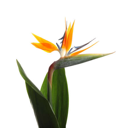 Bird of Paradise tropical flower isolated on white