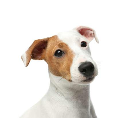 Cute Jack Russel Terrier on white background. Lovely dog