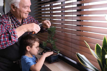 Senior man with little grandson taking care of Japanese bonsai plant near window indoors. Creating zen atmosphere at home