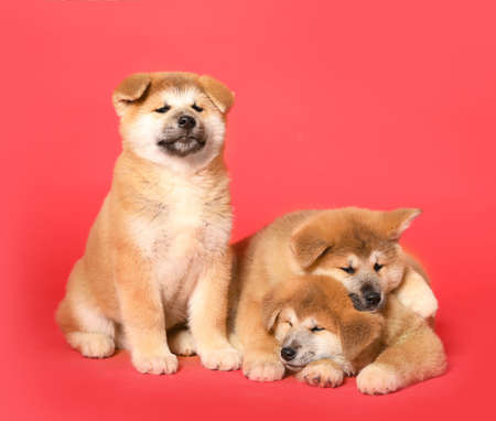 Cute Akita Inu puppies on red background. Baby animals