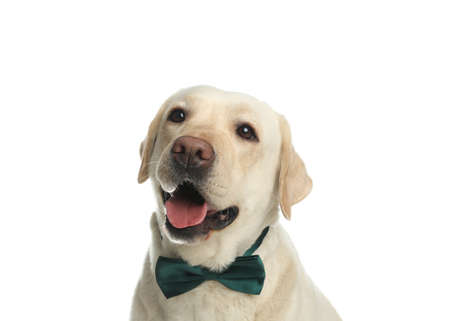 Labrador retriever with green bow tie on white background. St. Patricks day Imagens