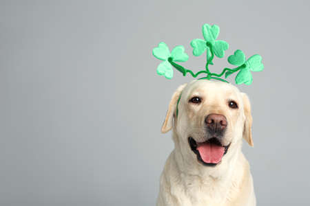Labrador retriever with clover leaves headband on light grey background, space for text. St. Patricks day
