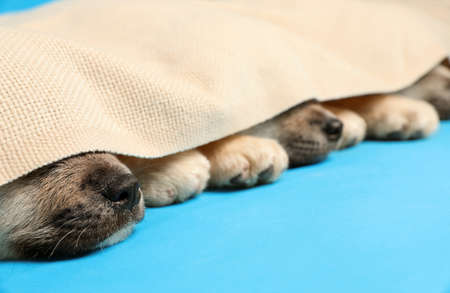 Cute Akita Inu puppies covered with plaid on light blue background, closeup. Baby animals