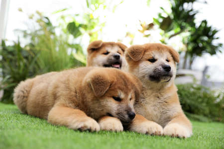 Cute Akita Inu puppies on green grass outdoors. Baby animals
