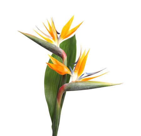 Bird of Paradise tropical flowers isolated on white