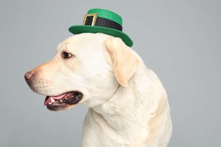 Labrador retriever with leprechaun hat on light grey background. St. Patricks day