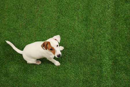Cute Jack Russel Terrier on green grass, top view with space for text. Lovely dog