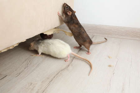 Rats near damaged furniture indoors. Pest control