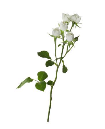Beautiful blooming rose flower isolated on white 版權商用圖片