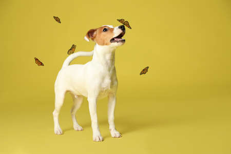 Cute Jack Russel Terrier and butterflies on yellow background. Lovely dog