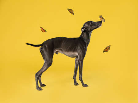 Cute Italian Greyhound dog and butterflies on yellow background