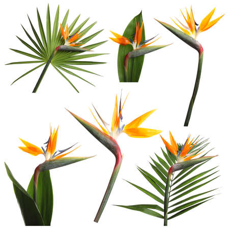 Set with beautiful Bird of Paradise tropical flowers and green leaves on white background