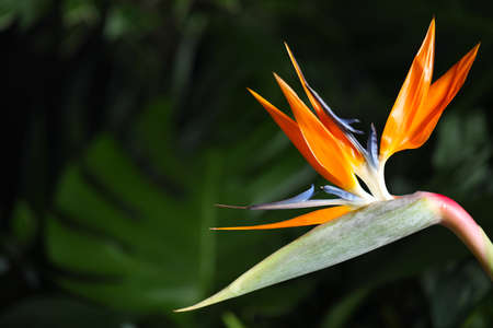 Bird of Paradise tropical flower on blurred background, closeup. Space for text