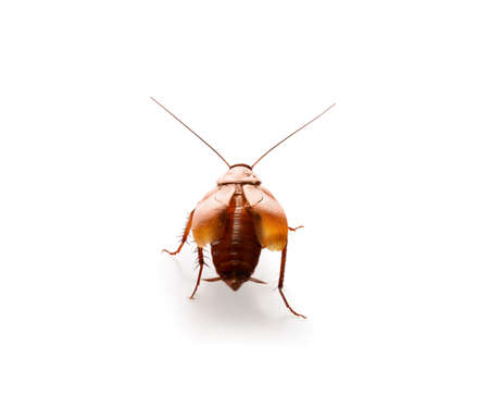 Brown cockroach isolated on white. Pest control Stock Photo