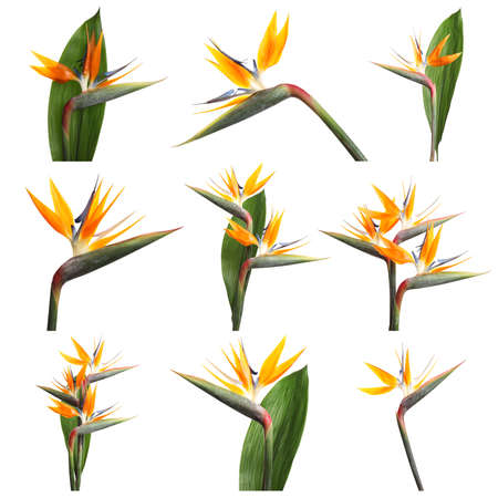 Set with beautiful Bird of Paradise tropical flowers on white background